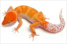 Leopard Gecko Morphs - Tremper Albino Hypo Enigma