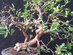 how to grow guava tree from cutting
