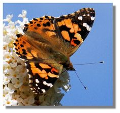 Painted Lady Butterfly-now found worldwide, sometimes flies in large numbers-likes Marjoram Butterfly Painting, Bys, Woman Painting, Butterflies, Scotland, Numbers, Flora, Lady, Butterfly Drawing