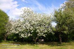 Æbletræer i fuld blomst.