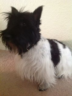 Scottie Dogs, Scottish Terriers, Adorable Dogs, Cairns, Westies, Pets, Animals, Diy Dog, Scottie Dog