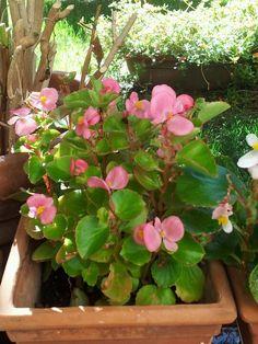Begonia rosa Begonia, Garden, Plants, Pink, Garten, Lawn And Garden, Gardens, Plant, Gardening