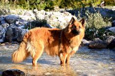 Rare Dog Breeds, Herding Dogs, Types Of Work, Rough Collie, Sheltie, German Shepherd Dogs, Corgi, Hunting, Old Things