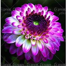 True dahlia bulbs,dahlia flower,(not dahlia seeds),bonsai... https://www.amazon.com/dp/B073QMFPXN/ref=cm_sw_r_pi_dp_U_x_m1MAAbZXSSS6S