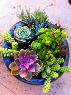 Mixed Potted Succulent Garden - found our shallow blue pot. Now to get a pretty mix of plants. #Easterproject