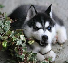 Husky Pup Is Getting Hungry Siberian Huskies Siberian Husky Puppies Mini Huskies Baby