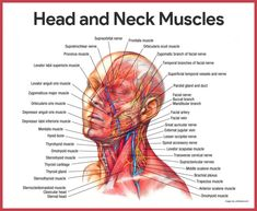 Human Muscular System, Muscular System Anatomy, Neck Muscle Anatomy, Facial Muscles Anatomy, Sternocleidomastoid Muscle, Head Muscles, Parotid Gland, Extensor Muscles