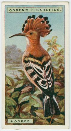 Hoopoe (Upupa epops) cigarette card, Wills's Cigarettes. From New York Public Library Digital Collections.