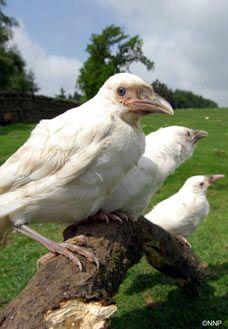 white ravens in English churchyard (cue Poe).