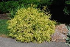 golden mop cypress/dwarf SHRUB | Chamaecyparis pisifera 'Lemon Thread' -- Gold Mop False Cypress