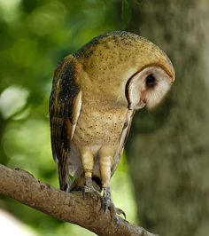 https://flic.kr/p/bWTaxW | Barn Owl_RGB3967 | Barn Owl perched on a limb. Note that this is a banded bird. Explored.