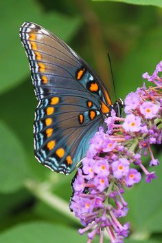 Red-spotted Purple by wjshawiii