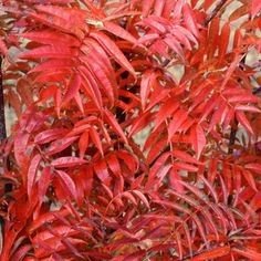 Sorbus commixta Olympic Flame   Wyevale Garden Centres Prune Fruit, Pruning Fruit Trees, Types Of Soil, Types Of Plants, Partial Shade Flowers, Olympic Flame, Specimen Trees, Farm Yard, Trees And Shrubs