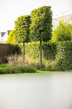 Portugiesischer Kirschlorbeer Pflanzen Pinterest Garden
