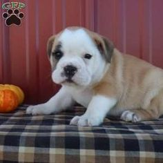 Wrinkly and cute are just some of the great features you will find with Lula, an adorable English Bulldog Mix ready for a forever home! This cute pup will Puppies For Sale, Cute Puppies, New Holland, English, Children, Dogs, Animals, Young Children, Animaux