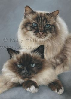 Ragdoll cats in pastels