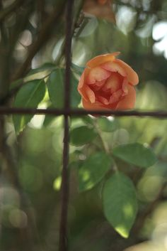 rose in the window