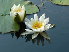 Water lilies Tom Of Finland, Garden Park, Summer Feeling, Water Lilies, Nature Wallpaper, Wild Flowers, Countryside, Natural Beauty, Roots