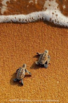 Baby Sea Turtles - Baby sea turtles heading for open water. Cute Baby Turtles, Cute Baby Animals, Sea Turtle Wallpaper, Turtle Book, Sea Turtle Pictures, Colorful Fish, Tropical Fish, Turtle Painting, Sea Creatures