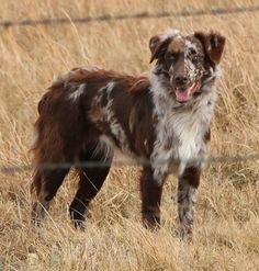 Australian Shepherd #bordercollie