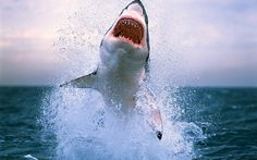 Go eye to eye with one of the ocean's mightiest apex predators, the great white shark in South Africa, South Australia, Isla Guadalupe and the Farallon Islands. Shark Week, Great White Shark Attack, Great White Shark Facts, Shark Cage, Shark Pictures, Shark Photos, Animal Pictures, Fauna Marina, Shark Diving