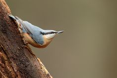 Eurasian nuthatch/ Boomklever by wim claes - Photo 130501577 - 500px