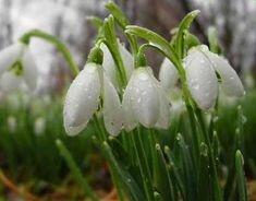 spring snowdrop, image uploaded by anonymous in nature category. First Day Of Spring, Spring Is Here, Spring Time, May Flowers, Wild Flowers, Beautiful Flowers, Spring Shower, Welcome Spring