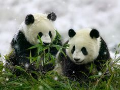 Pandas Actually Hang Out Together | Smart News | Smithsonian