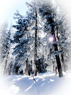 Snowy Trees at Brighton Resort