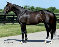 Tizway is an 11 year old registered , dark bay Thoroughbred stallion , son of Tiznow Most Beautiful Horses, All The Pretty Horses, Thoroughbred Horse, Appaloosa Horses, Derby Horse, Horse Saddles, Western Saddles, Sport Of Kings, Horse World