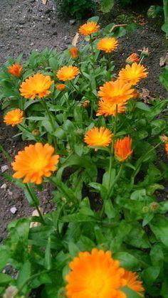 Healing Herbs, Medicinal Herbs, Herb Garden, Home And Garden, Calendula, Alternative Medicine, Good Advice, Natural Remedies, Flower Arrangements