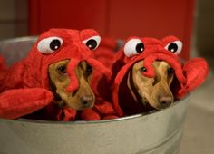 Dogs (and bonus cat) in lobster costumes. You're welcome.
