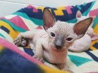 Purebred Sphynx Kittens For Adoption Kitten Adoption Sphynx Kittens For Sale Cat Adoption