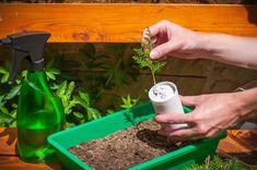 Krok za krokom: Jednoduchý návod, ako získať nové okrasné ihličnany z odrezkov - Pluska.sk Plants, Plant, Planting, Planets