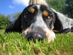 basset bleu de gascogne | Photo ELYUM Basset bleu de gascogne - Photo de Chien, Vive les chiens                                                                                                                                                                                 Plus