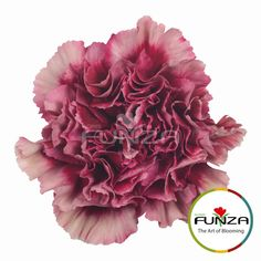 Specialty Carnation from Flores Funza. Variety: Chelo. Availability: Year-round.