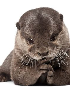 Playful otter pup otter) via www. Cute Funny Animals, Cute Baby Animals, Animals And Pets, Otters Cute, Baby Otters, Beaver Pictures, Animal Pictures, Young Animal, My Animal