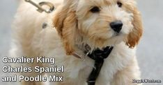 Cavalier King  Charles Spaniel  and Poodle Mix