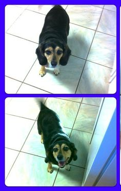 My name is Lady. I am a Beagle, could be pure. Regardless I have lots of love in my heart. Lap dog. I love running outside and curling up on the sofa. I love people. Recently I learned that if I hide my bones, treats and toys in a corner...they will...