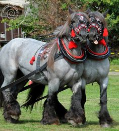 I am no horseman--breed? Color like Percheron but feathering? Big Horses, Work Horses, Horse Love, Black Horses, Most Beautiful Horses, All The Pretty Horses, Beautiful Creatures, Animals Beautiful, Clydesdale Horses