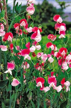 Sweet peas: sowing, cultivation and planting - flowers Flowers Nature, Beautiful Flowers, Flowers Garden, Wicken, Garden Online, Backyard Lighting, Garden Structures, Plantation, Garden Planters