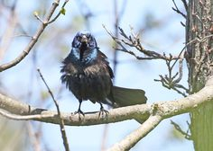 This grackle means business! | photo by volunteer Jerry Cannon | Furnace Run Metro Park