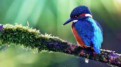 blue birds wallpaper dowload
