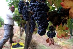 Natural Wines are causing quite the controversy.  What's your take on this polarizing #winemaking style?