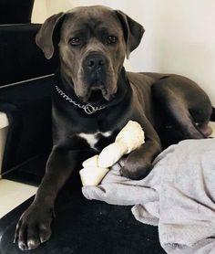 Cane Corso Italian Mastiff, Cane Corso Mastiff, Canes, Bulldogs, Pitbulls, Pup, Pretty, Beautiful, Animals And Pets