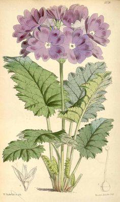 2585 Primula cortusoides L. var. amcena / Curtis's Botanical Magazine, vol. 91 [ser. 3, vol. 21]: t. 5528 (1865) [W.H. Fitch]