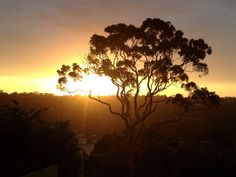 The silhouette of a Sydney gum tree on a summers sunset.