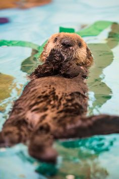 Rescued Sea Otter 'Pup 719' Finds New Home
