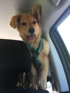 Shes excited about the car ride!! #aww #cute #cutecats #dinkydogs #animalsofpinterest #cuddle #fluffy #animals #pets #bestfriend #boopthesnoot