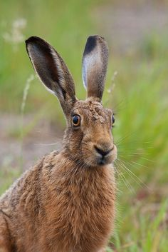Brown Hare by Richard Bowler Hare Images, Hare Pictures, Animal Pictures, Wild Rabbit, Jack Rabbit, Animals Of The World, Animals And Pets, Cute Animals, Woodland Creatures